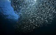 la-carrera-de-las-sardinas-sudafrica-9